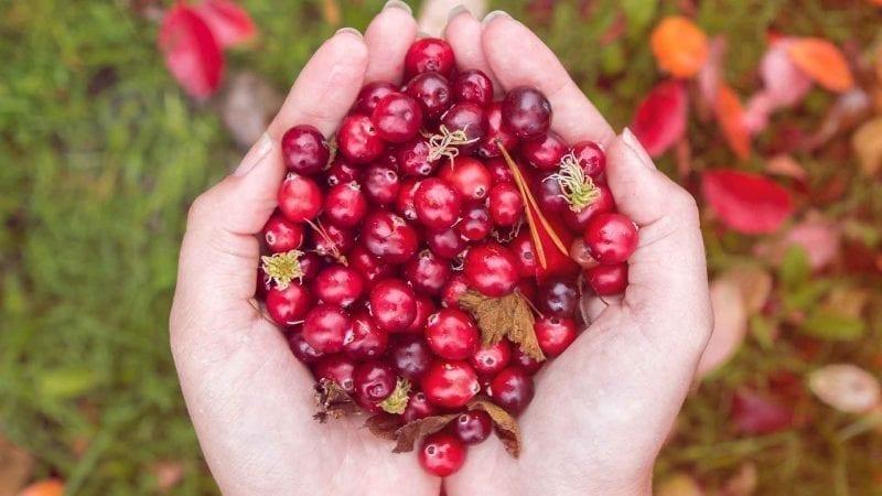 Rote Cranberrys in zwei Handinnenflächen