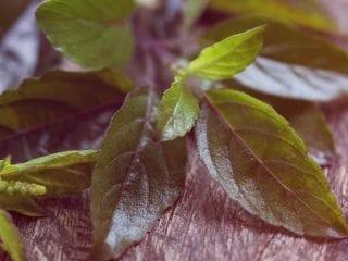 Blätter von Holy Basil (Tulsi)