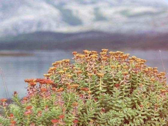 Rhodiola rosea mit orange-gelben Blüten