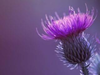 Eine lila Mariendistelpflanze im Vordergrund