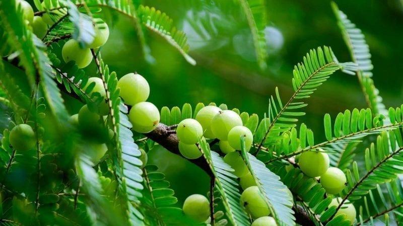 Amlabeeren an einem Zweig